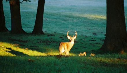 Valley Forge Sunrise Deer